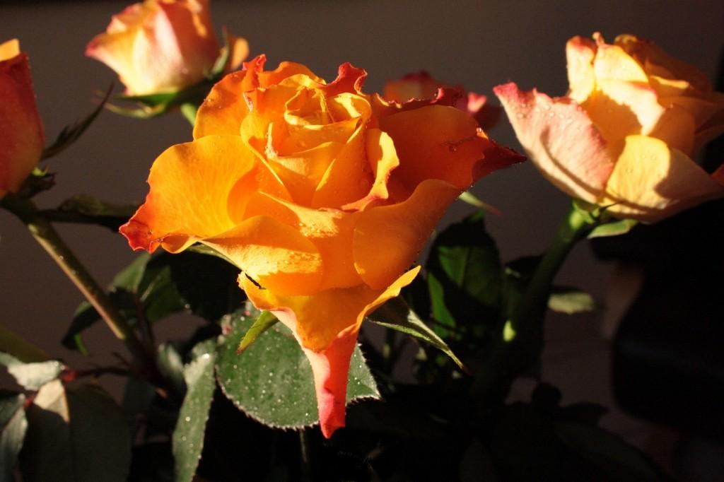 Fleur-Rose-Aout2015-x1800